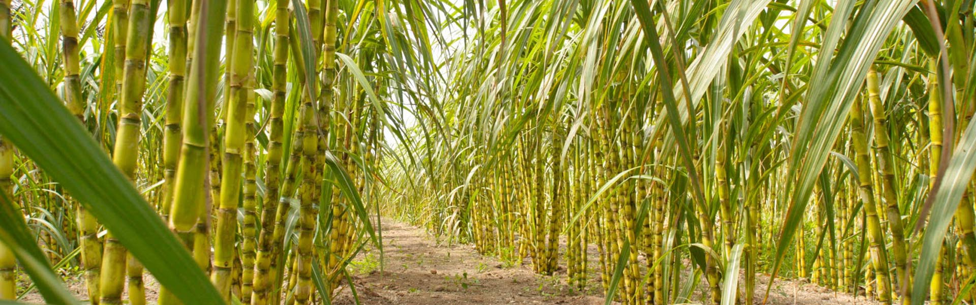 Sugar-Cane-Crop